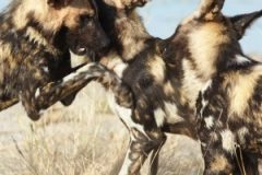 Long-term Orientation - the African wild dog